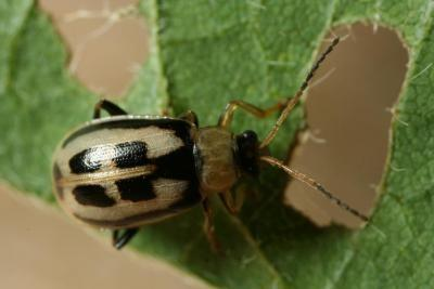 Adult bean leaf beetle. Photo by Winston Beck